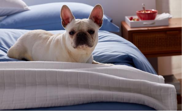 Dog on Comforter